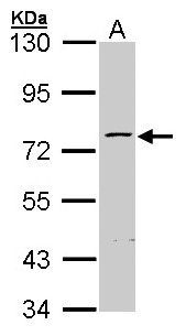 Sample (30 ug of whole cell lysate). A: Hep G2. 7.5% SDS PAGE. ZNF143 antibody diluted at 1:1000.