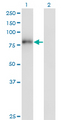 Western Blot analysis of ZNF175 expression in transfected 293T cell line by ZNF175 monoclonal antibody (M01), clone 1C2.Lane 1: ZNF175 transfected lysate(81.6 KDa).Lane 2: Non-transfected lysate.