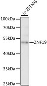 ZNF19 Antibody - Western blot analysis of extracts of U-251MG cells, using ZNF19 antibody at 1:1000 dilution. The secondary antibody used was an HRP Goat Anti-Rabbit IgG (H+L) at 1:10000 dilution. Lysates were loaded 25ug per lane and 3% nonfat dry milk in TBST was used for blocking. An ECL Kit was used for detection and the exposure time was 5s.