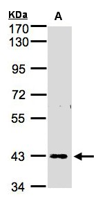 Sample (30 ug whole cell lysate). A: H1299. 7.5% SDS PAGE. ZNF211 antibody diluted at 1:1000