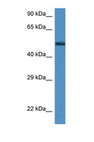 ZNF275 Antibody - ZNF275 antibody Western blot of Mouse Kidney lysate. Antibody concentration 1 ug/ml.  This image was taken for the unconjugated form of this product. Other forms have not been tested.