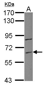 ZNF282 Antibody - Sample (30 ug of whole cell lysate) A: Raji 7.5% SDS PAGE ZNF282 / HUB1 antibody diluted at 1:1000