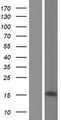 ZNF3 Protein - Western validation with an anti-DDK antibody * L: Control HEK293 lysate R: Over-expression lysate