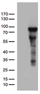 ZNF317 Antibody - HEK293T cells were transfected with the pCMV6-ENTRY control. (Left lane) or pCMV6-ENTRY ZNF317. (Right lane) cDNA for 48 hrs and lysed. Equivalent amounts of cell lysates. (5 ug per lane) were separated by SDS-PAGE and immunoblotted with anti-ZNF317. (1:500)