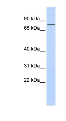 ZNF354A antibody Western blot of 293T cell lysate. This image was taken for the unconjugated form of this product. Other forms have not been tested.