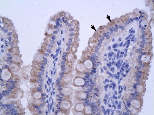 ZNF358 antibody LS-C31152 was used in IHC to stain formalin-fixed, paraffin-embedded human intestine.  This image was taken for the unconjugated form of this product. Other forms have not been tested.