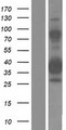 ZNF367 Protein - Western validation with an anti-DDK antibody * L: Control HEK293 lysate R: Over-expression lysate