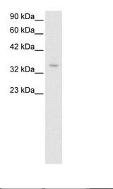 ZNF391 Antibody - HepG2 Cell Lysate.  This image was taken for the unconjugated form of this product. Other forms have not been tested.