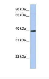 ZNF391 Antibody - 721_B cell lysate. Antibody concentration: 1.0 ug/ml. Gel concentration: 12%.  This image was taken for the unconjugated form of this product. Other forms have not been tested.