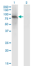 ZNF41 Antibody - Western Blot analysis of ZNF41 expression in transfected 293T cell line by ZNF41 monoclonal antibody (M01), clone 4E9.Lane 1: ZNF41 transfected lysate (Predicted MW: 89.1 KDa).Lane 2: Non-transfected lysate.