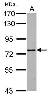 ZNF418 Antibody - Sample (30 ug of whole cell lysate) A: U87-MG 7.5% SDS PAGE ZNF418 antibody diluted at 1:10000