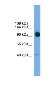 ZNF445 Antibody - ZNF445 antibody Western blot of Mouse Brain lysate. This image was taken for the unconjugated form of this product. Other forms have not been tested.