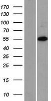 ZNF446 Protein - Western validation with an anti-DDK antibody * L: Control HEK293 lysate R: Over-expression lysate