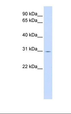 Fetal liver lysate. Antibody concentration: 1.0 ug/ml. Gel concentration: 12%.  This image was taken for the unconjugated form of this product. Other forms have not been tested.