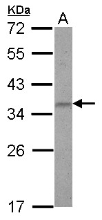 ZNF501 Antibody - Sample (30 ug of whole cell lysate) A: U87-MG 12% SDS PAGE ZNF501 antibody diluted at 1:1000