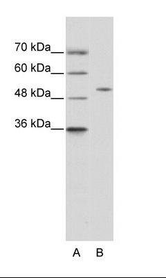 A: Marker, B: 293T Cell Lysate.  This image was taken for the unconjugated form of this product. Other forms have not been tested.