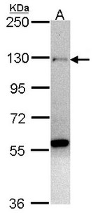 ZNF574 Antibody - Sample (30 ug of whole cell lysate). A: H1299. 7.5% SDS PAGE. ZNF574 antibody diluted at 1:1000.