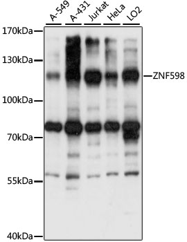 ZNF598 Antibody - Western blot analysis of extracts of various cell lines, using ZNF598 antibody at 1:1000 dilution. The secondary antibody used was an HRP Goat Anti-Rabbit IgG (H+L) at 1:10000 dilution. Lysates were loaded 25ug per lane and 3% nonfat dry milk in TBST was used for blocking. An ECL Kit was used for detection and the exposure time was 15S.