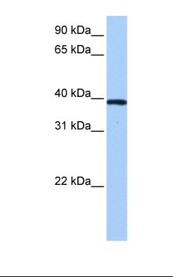 NTERA2 cell lysate. Antibody concentration: 0.5 ug/ml. Gel concentration: 12%.  This image was taken for the unconjugated form of this product. Other forms have not been tested.