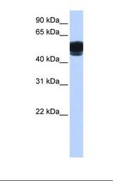 Fetal brain cell lysate. Antibody concentration: 0.5 ug/ml. Gel concentration: 12%.  This image was taken for the unconjugated form of this product. Other forms have not been tested.