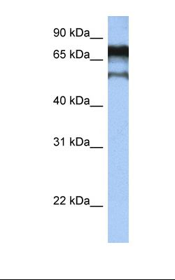 Hela cell lysate. Antibody concentration: 1.0 ug/ml. Gel concentration: 12%.  This image was taken for the unconjugated form of this product. Other forms have not been tested.