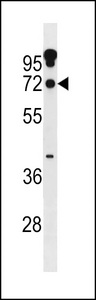 ZNF805 Antibody western blot of A549 cell line lysates (35 ug/lane). The ZNF805 antibody detected the ZNF805 protein (arrow).