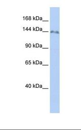 721_B cell lysate. Antibody concentration: 1.0 ug/ml. Gel concentration: 6-18%.  This image was taken for the unconjugated form of this product. Other forms have not been tested.