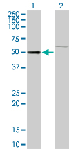 Western blot of ZNF92 expression in transfected 293T cell line by ZNF92 monoclonal antibody (M01), clone 1F2.