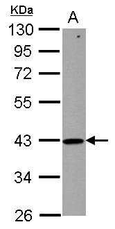 ZNHIT2 Antibody - Sample (50 ug of whole cell lysate) A: mouse testis 10% SDS PAGE ZNHIT2 antibody diluted at 1:1000