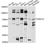 ZWILCH Antibody - Western blot analysis of extracts of various cell lines, using ZWILCH antibody at 1:1000 dilution. The secondary antibody used was an HRP Goat Anti-Rabbit IgG (H+L) at 1:10000 dilution. Lysates were loaded 25ug per lane and 3% nonfat dry milk in TBST was used for blocking. An ECL Kit was used for detection and the exposure time was 5s.